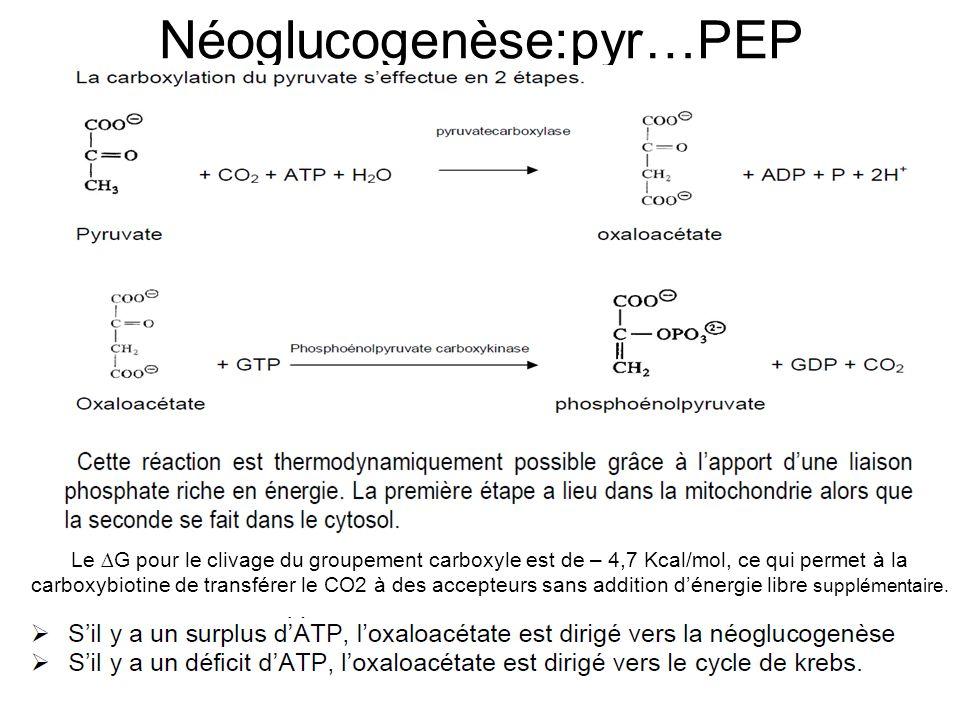 Néoglucogenèse:pyr…PEP Le ∆G pour le clivage du groupement carboxyle est de – 4,7 Kcal/mol, ce qui permet à la carboxybiotine de transférer le CO2 à d