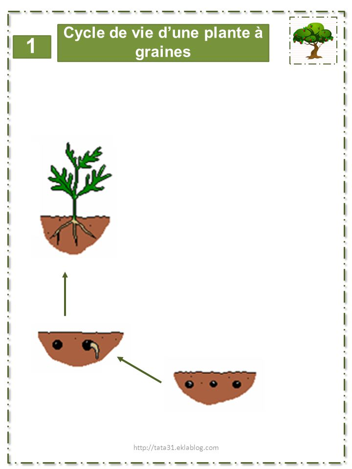 1 Cycle de vie d'une plante à bulbe Images issues du site: http://tata31.eklablog.com
