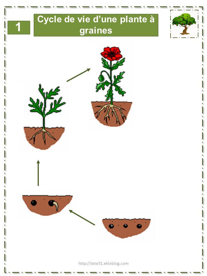 1 Cycle de vie d'une plante à graines http://tata31.eklablog.com