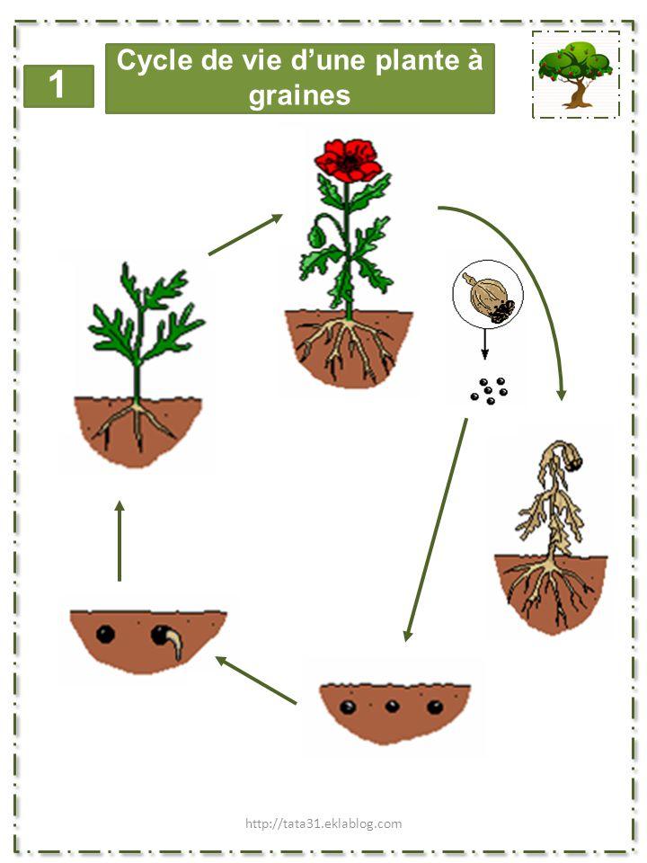 1 Cycle de vie d'une plante à bulbe http://tata31.eklablog.com