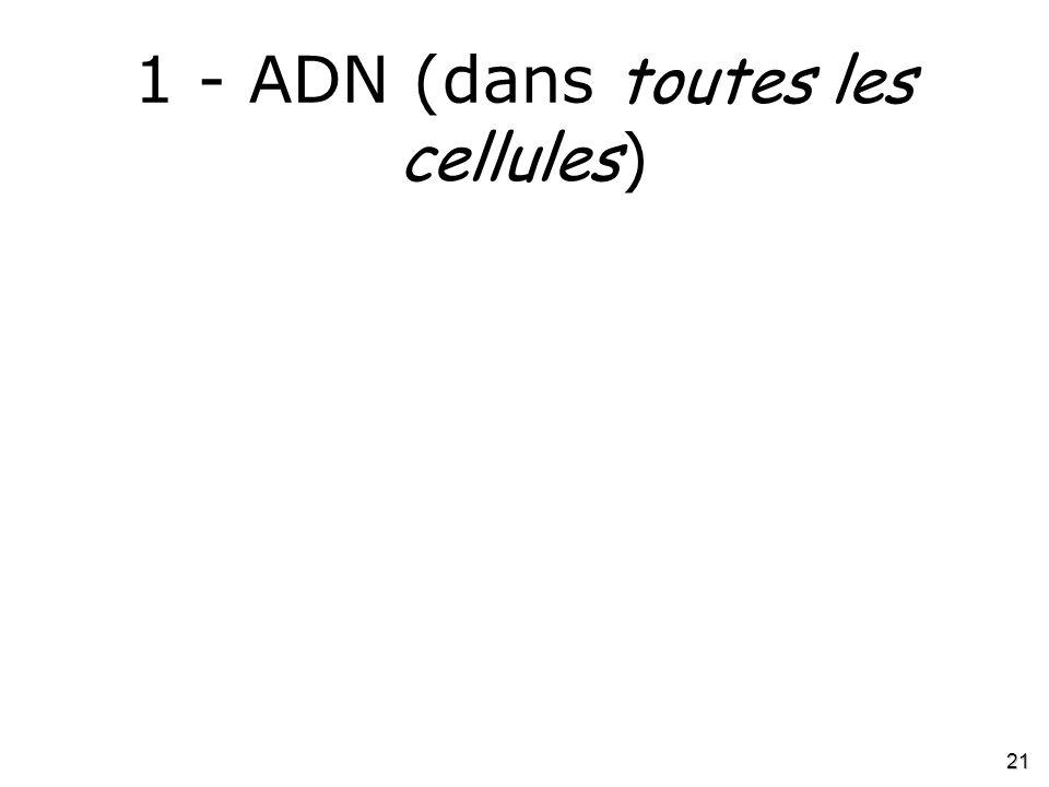 21 1 - ADN (dans toutes les cellules )