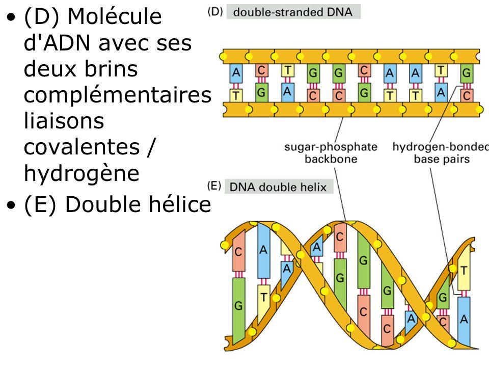 23 Fig 1-1(D-E) •(D) Molécule d'ADN avec ses deux brins complémentaires liaisons covalentes / hydrogène •(E) Double hélice