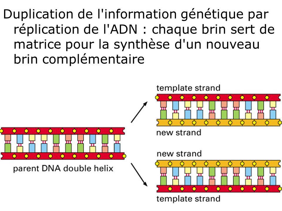 24 Fig 1-3 Duplication de l'information génétique par réplication de l'ADN : chaque brin sert de matrice pour la synthèse d'un nouveau brin complément