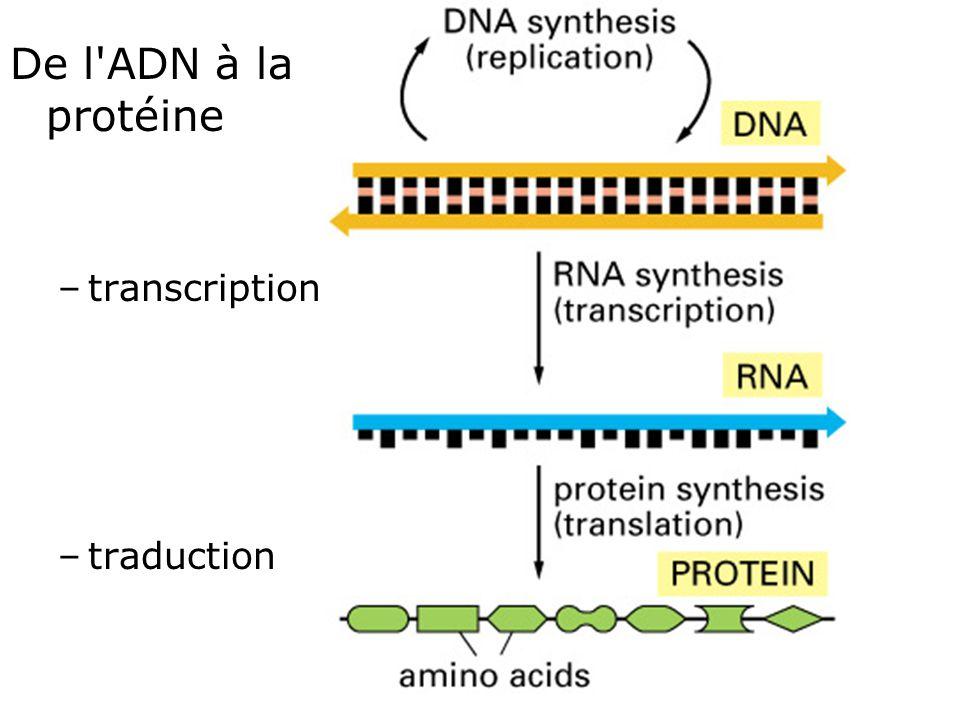 27 Fig 1-4 De l'ADN à la protéine –transcription –traduction