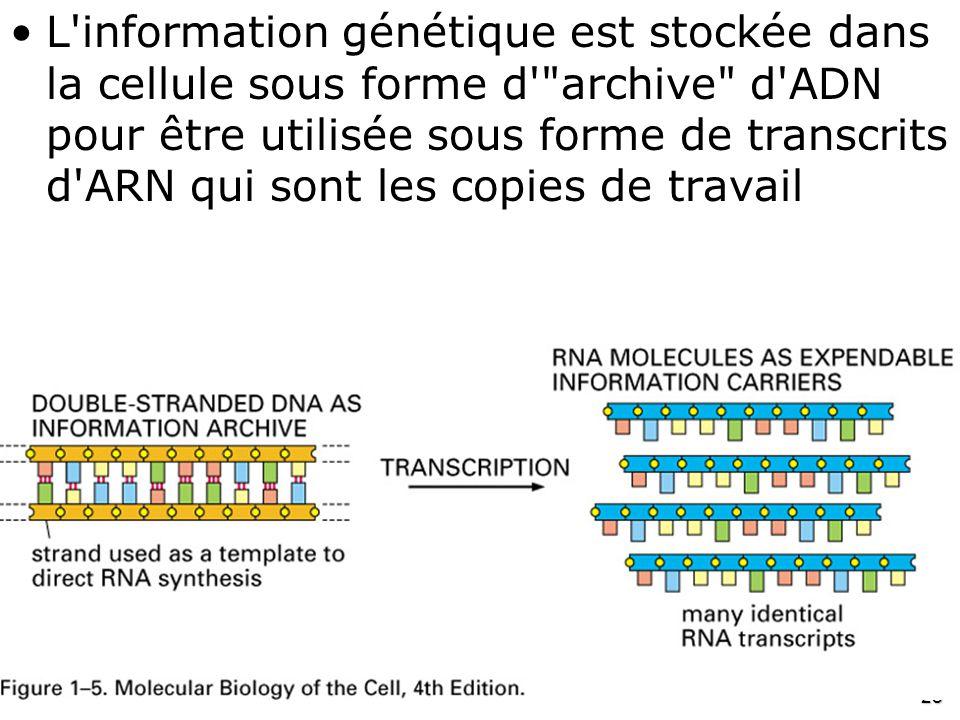28 Fig 1-5 •L'information génétique est stockée dans la cellule sous forme d'