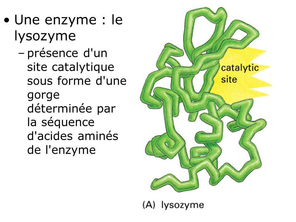 31 Fig 1-7(A) •Une enzyme : le lysozyme –présence d'un site catalytique sous forme d'une gorge déterminée par la séquence d'acides aminés de l'enzyme