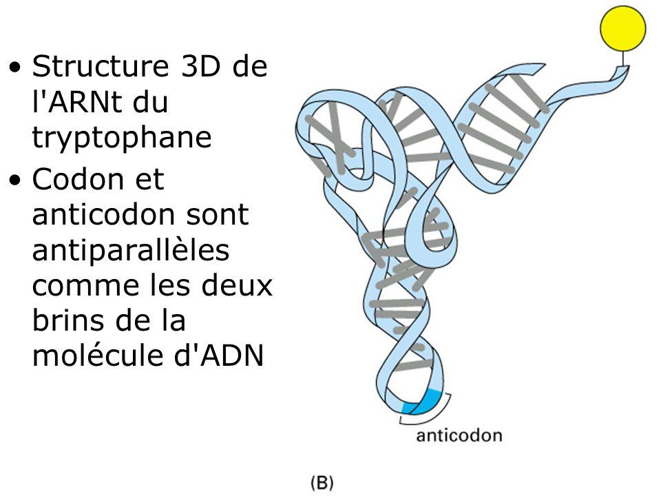 36 Fig 1-9(B) •Structure 3D de l'ARNt du tryptophane •Codon et anticodon sont antiparallèles comme les deux brins de la molécule d'ADN