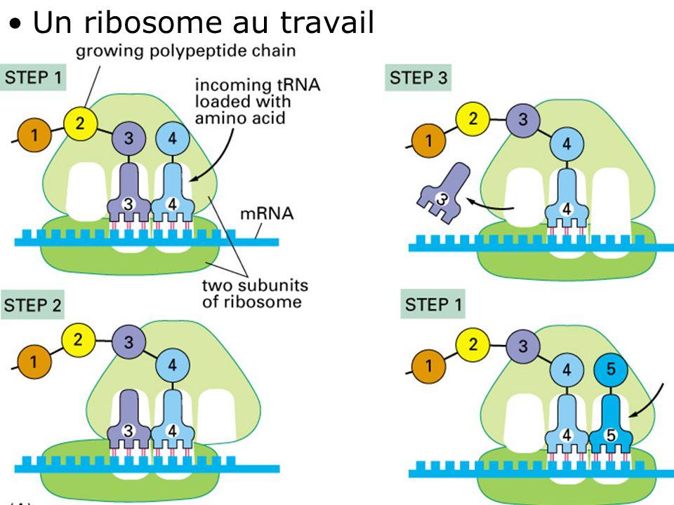 37 Fig 1-10(A) •Un ribosome au travail