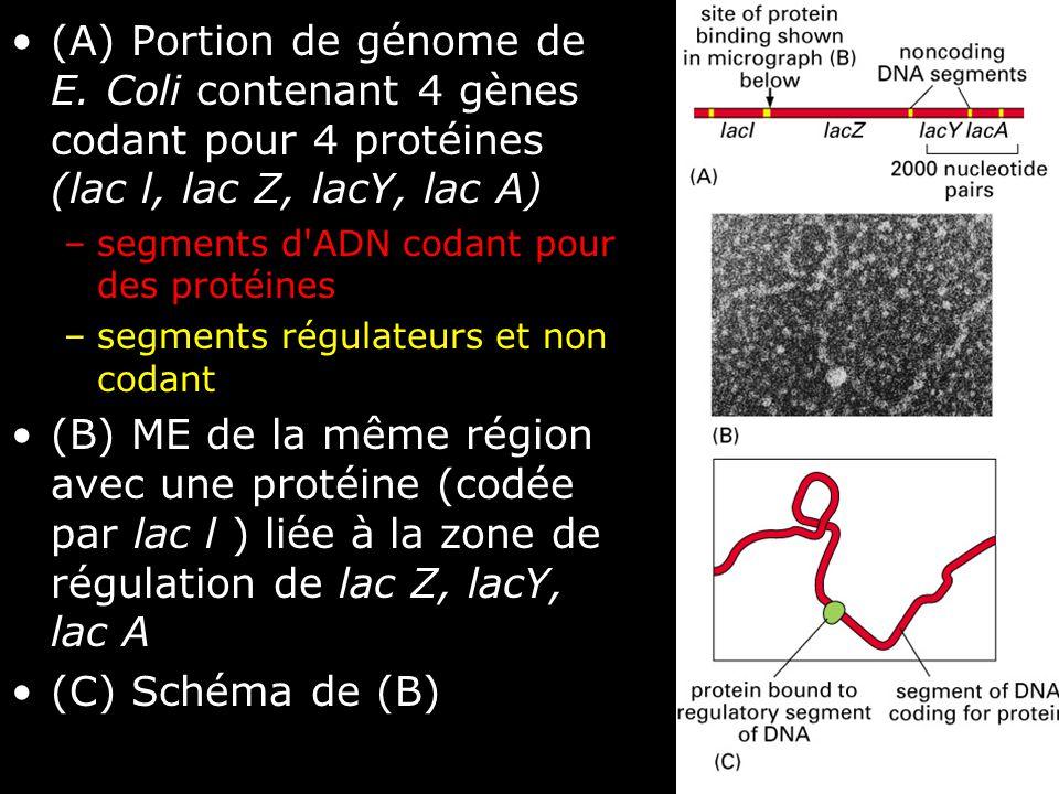 40 Fig 1-11 •(A) Portion de génome de E. Coli contenant 4 gènes codant pour 4 protéines (lac l, lac Z, lacY, lac A) –segments d'ADN codant pour des pr