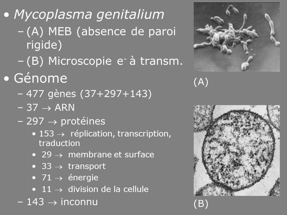 48 Fig 1-14 •Mycoplasma genitalium –(A) MEB (absence de paroi rigide) –(B) Microscopie e - à transm. •Génome –477 gènes (37+297+143) –37  ARN –297 