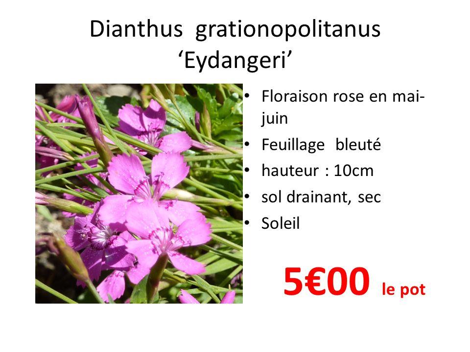 Dianthus grationopolitanus 'Eydangeri' • Floraison rose en mai- juin • Feuillage bleuté • hauteur : 10cm • sol drainant, sec • Soleil 5€00 le pot