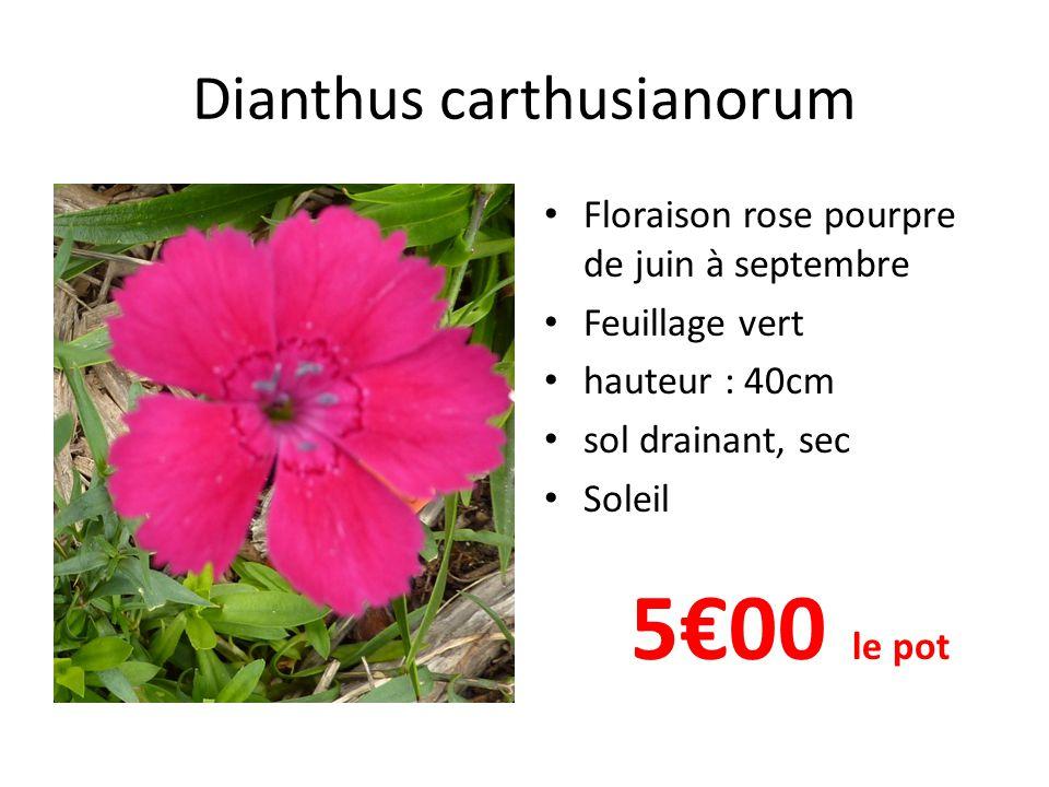 Dianthus carthusianorum • Floraison rose pourpre de juin à septembre • Feuillage vert • hauteur : 40cm • sol drainant, sec • Soleil 5€00 le pot