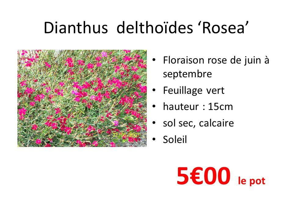 Dianthus delthoïdes 'Rosea' • Floraison rose de juin à septembre • Feuillage vert • hauteur : 15cm • sol sec, calcaire • Soleil 5€00 le pot