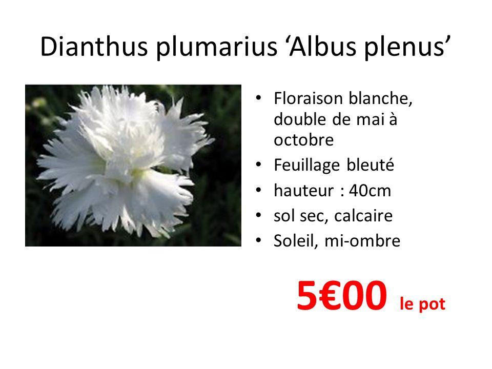 Dianthus plumarius 'Albus plenus' • Floraison blanche, double de mai à octobre • Feuillage bleuté • hauteur : 40cm • sol sec, calcaire • Soleil, mi-om