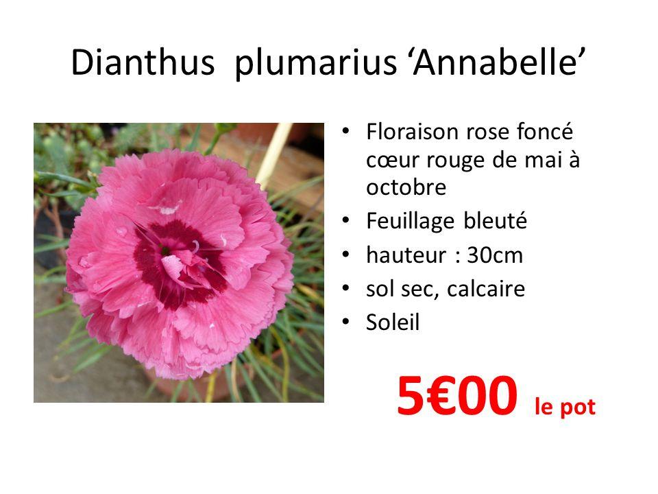 Dianthus plumarius 'Annabelle' • Floraison rose foncé cœur rouge de mai à octobre • Feuillage bleuté • hauteur : 30cm • sol sec, calcaire • Soleil 5€0