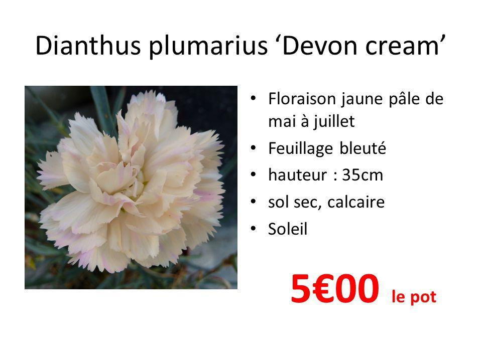 Dianthus plumarius 'Devon cream' • Floraison jaune pâle de mai à juillet • Feuillage bleuté • hauteur : 35cm • sol sec, calcaire • Soleil 5€00 le pot