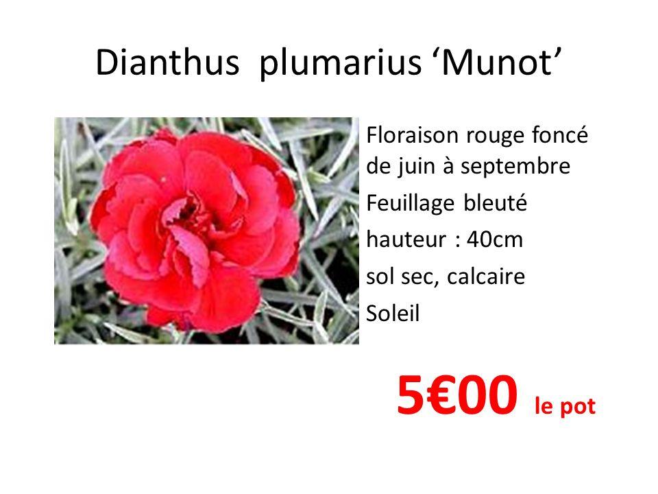 Dianthus plumarius 'Munot' • Floraison rouge foncé de juin à septembre • Feuillage bleuté • hauteur : 40cm • sol sec, calcaire • Soleil 5€00 le pot