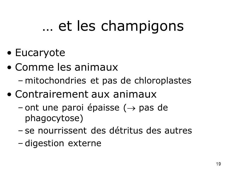 19 … et les champigons •Eucaryote •Comme les animaux –mitochondries et pas de chloroplastes •Contrairement aux animaux –ont une paroi épaisse ( pas d