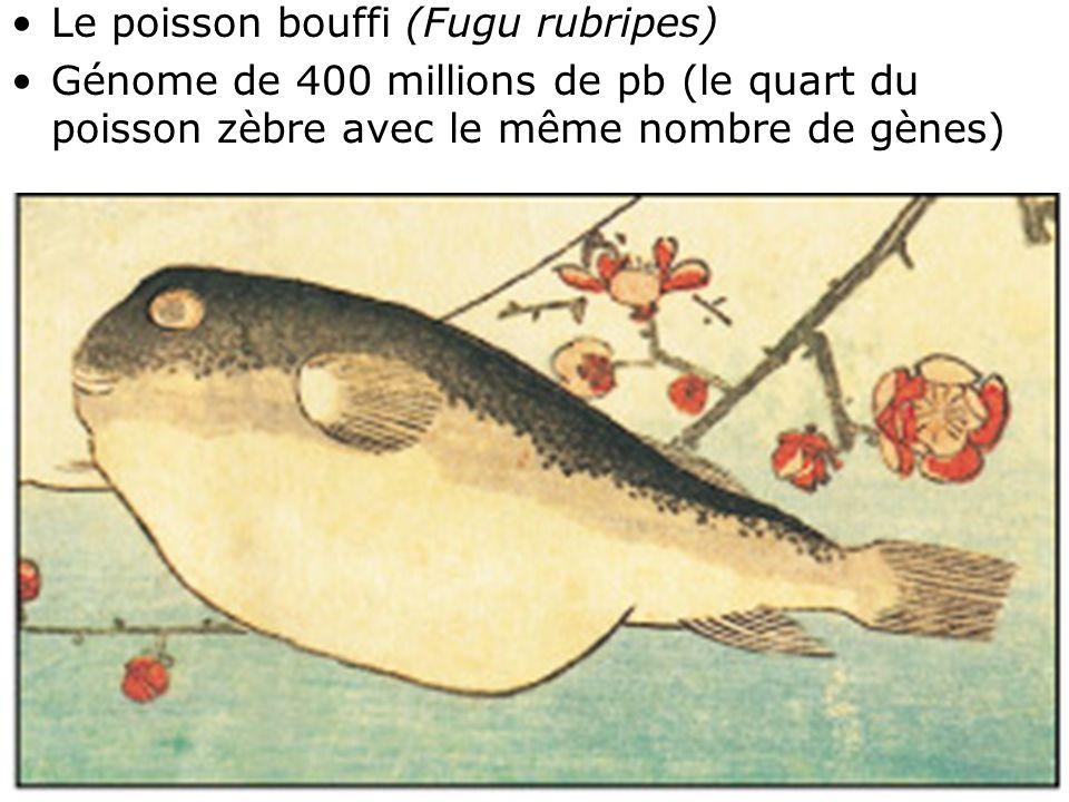 26 Fig 1-39 •Le poisson bouffi (Fugu rubripes) •Génome de 400 millions de pb (le quart du poisson zèbre avec le même nombre de gènes)