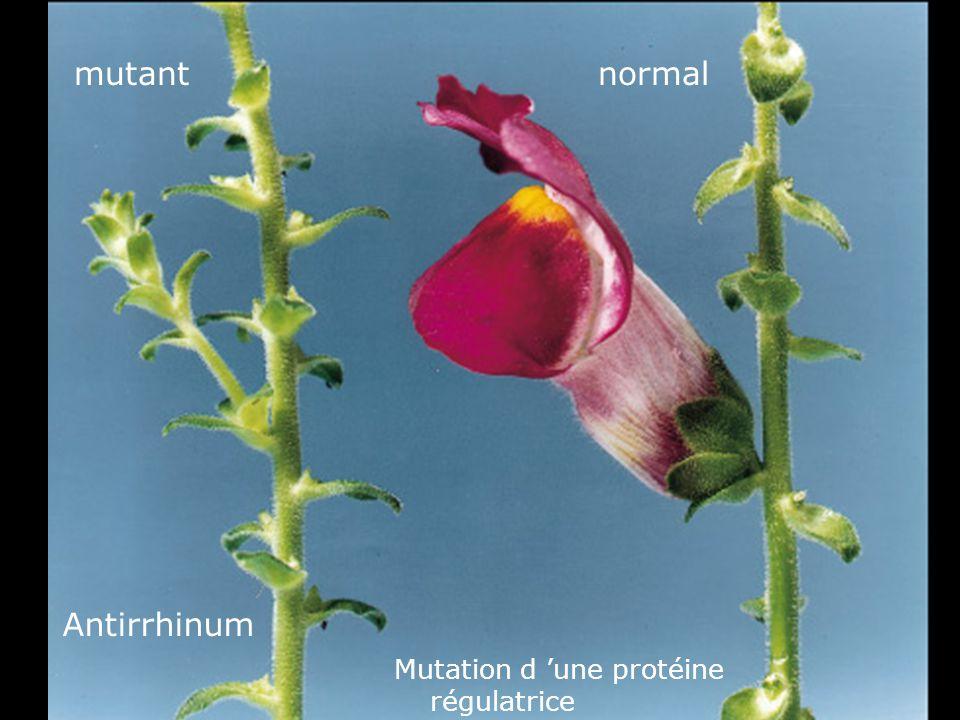 31 Fig 1-41 mutant Antirrhinum normal Mutation d 'une protéine régulatrice