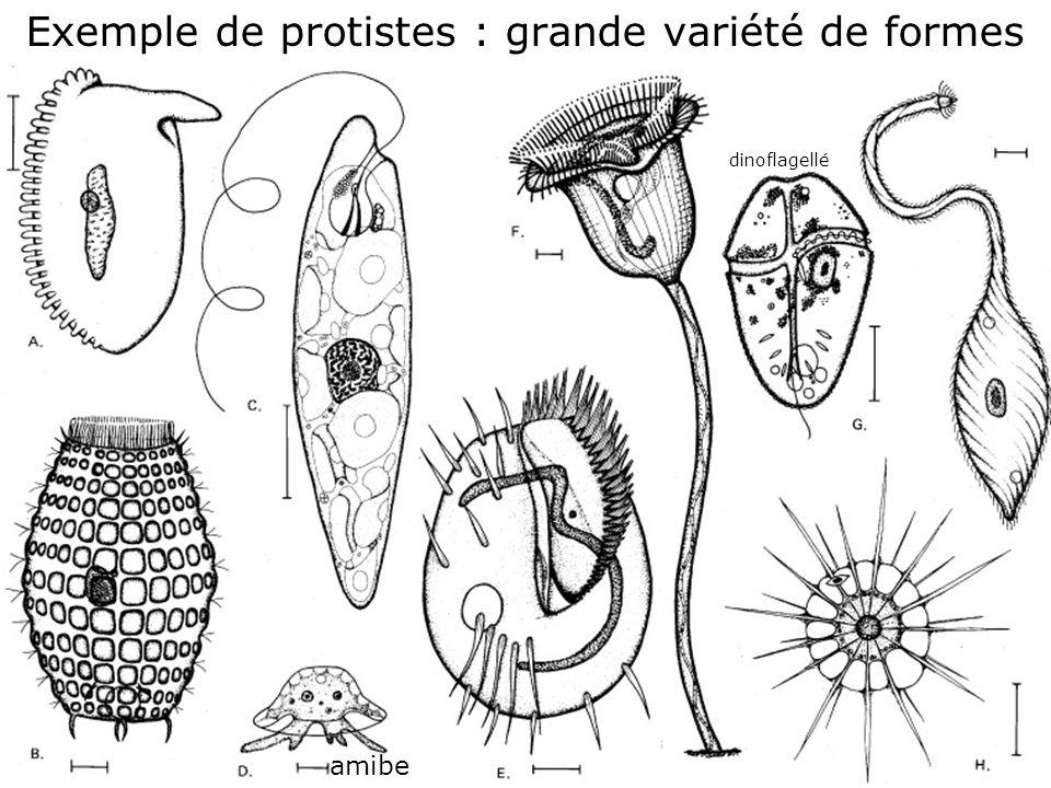 35 Fig 1-42 Exemple de protistes : grande variété de formes amibe dinoflagellé