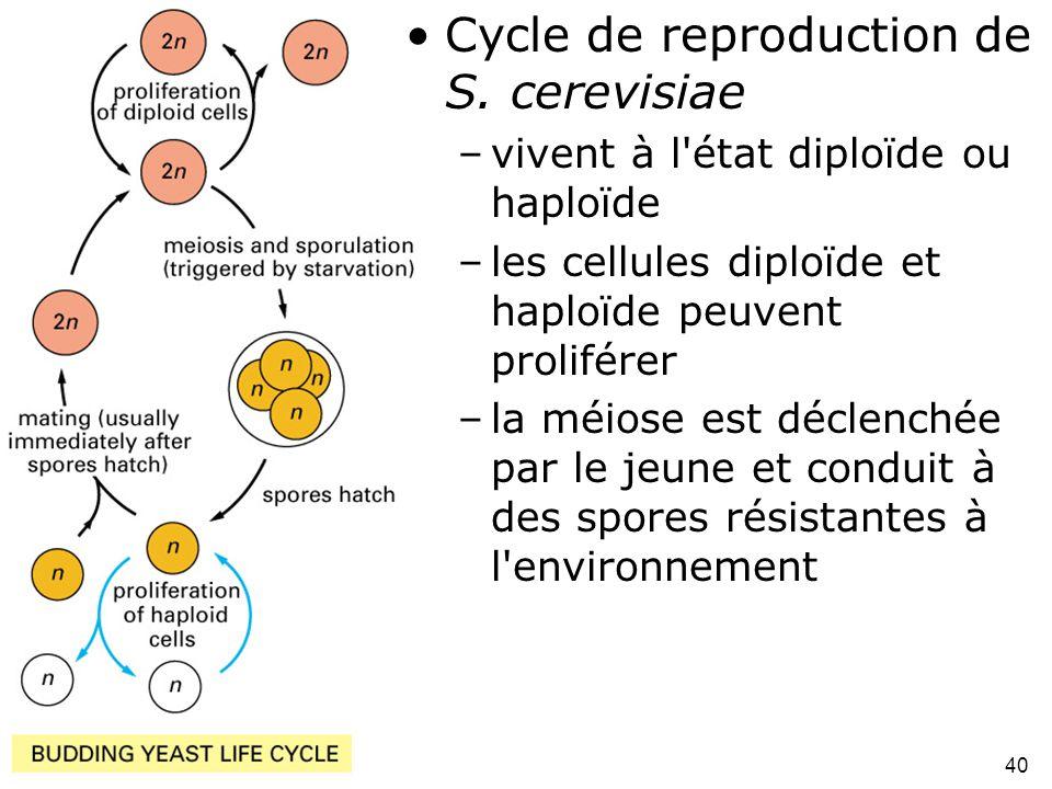 40 Fig 1-44 •Cycle de reproduction de S. cerevisiae –vivent à l'état diploïde ou haploïde –les cellules diploïde et haploïde peuvent proliférer –la mé