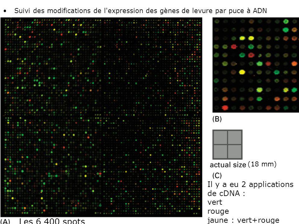 42 Fig 1-45 •Suivi des modifications de l'expression des gènes de levure par puce à ADN Les 6 400 spots Il y a eu 2 applications de cDNA : vert rouge