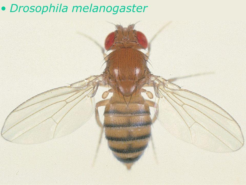 60 Fig 1-48 •Drosophila melanogaster