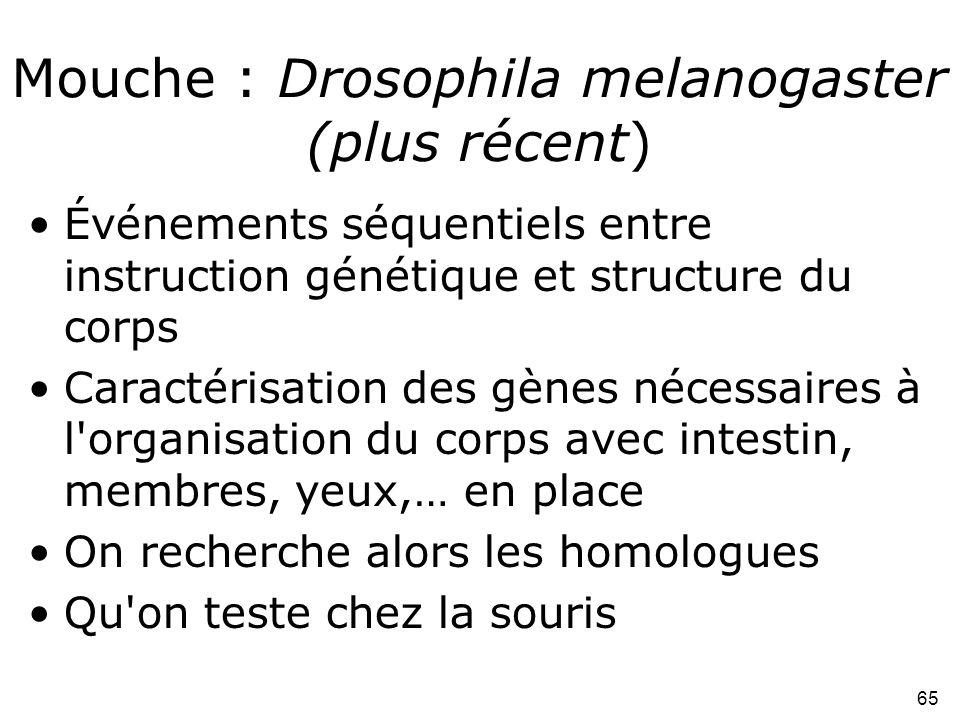 65 Mouche : Drosophila melanogaster (plus récent) •Événements séquentiels entre instruction génétique et structure du corps •Caractérisation des gènes