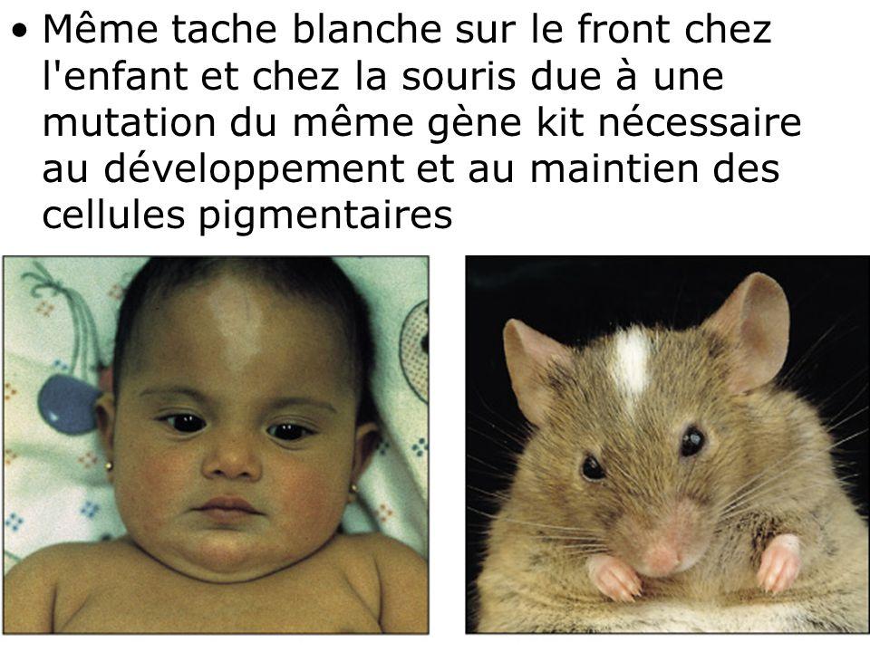 76 Fig 1-53 •Même tache blanche sur le front chez l'enfant et chez la souris due à une mutation du même gène kit nécessaire au développement et au mai