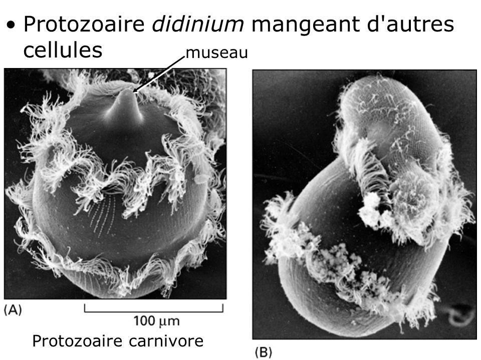 8 Fig 1-33 •Protozoaire didinium mangeant d'autres cellules Protozoaire carnivore museau
