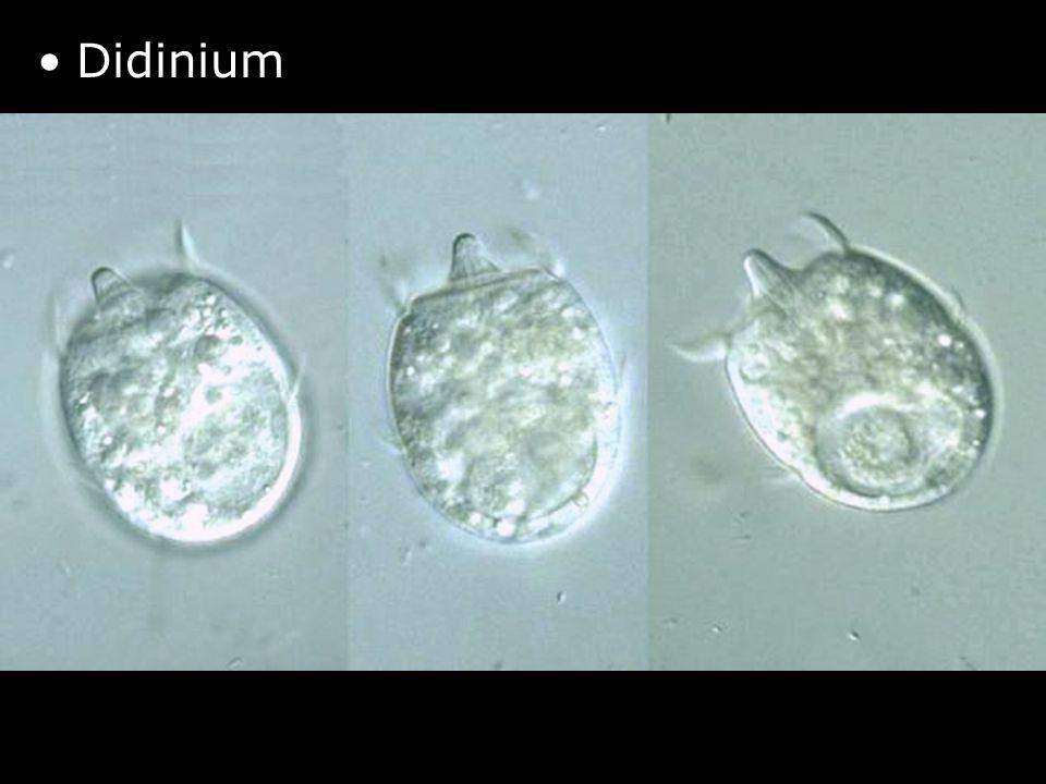 9 http://protist.i.hosei.ac.jp/P DB/Images/Ciliophora/Didini um/ •Didinium