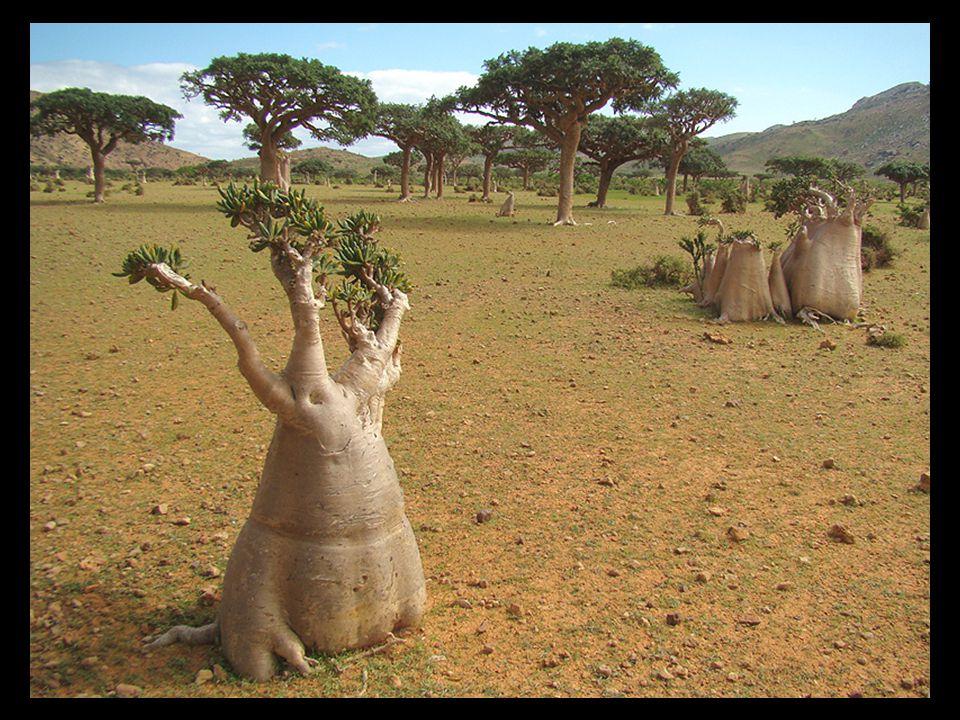 L'île de Socotra, qui fait partie d'un archipel de quatre îles de l'Océan Indien, a été géographiquement séparée du continent africain il y a 6 ou 7 m