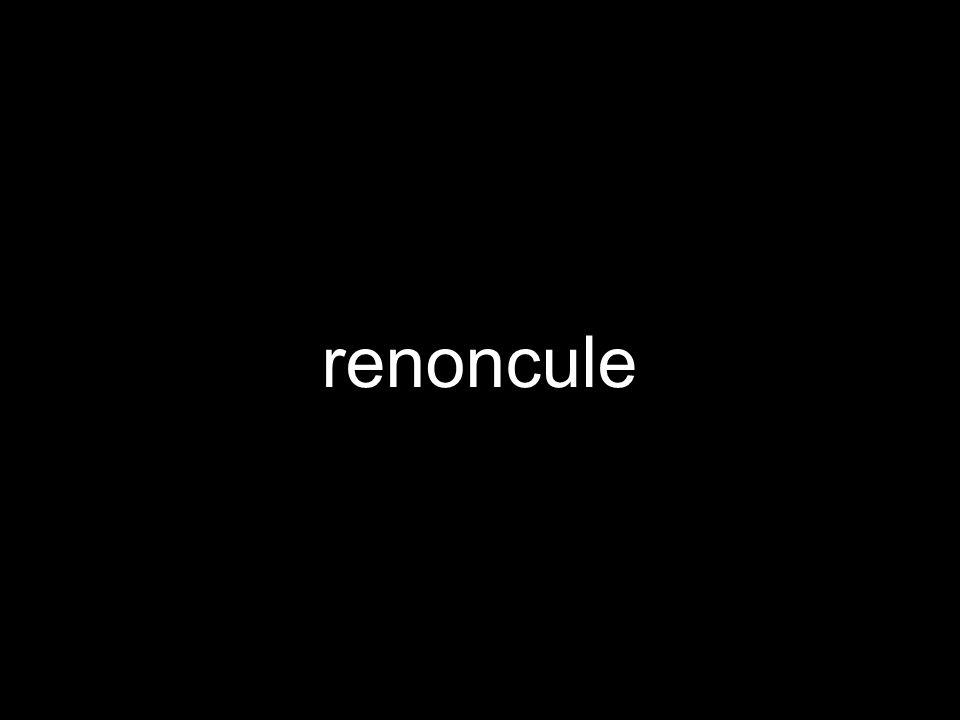 renoncule