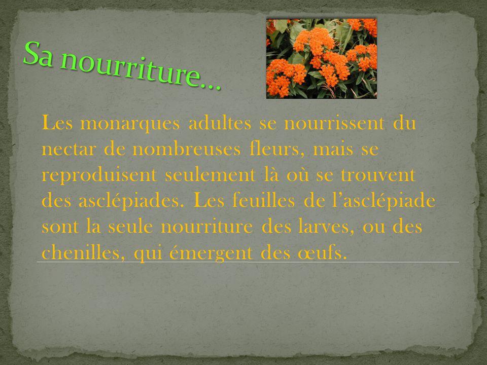 Les monarques adultes se nourrissent du nectar de nombreuses fleurs, mais se reproduisent seulement là où se trouvent des asclépiades.