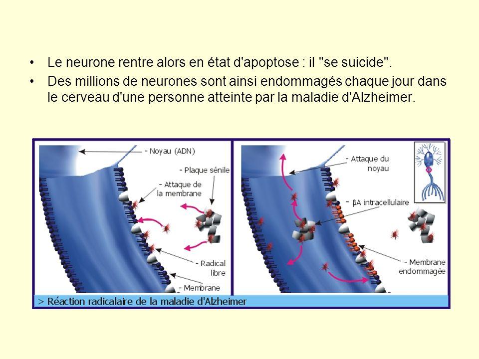 •Le neurone rentre alors en état d'apoptose : il