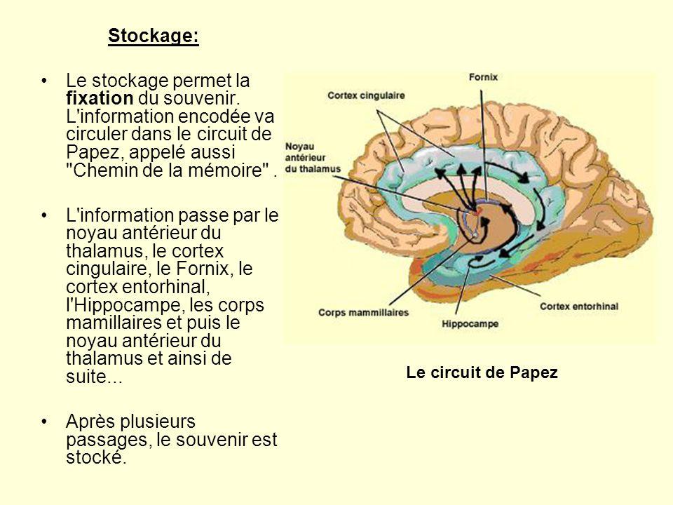 Stockage: •Le stockage permet la fixation du souvenir. L'information encodée va circuler dans le circuit de Papez, appelé aussi