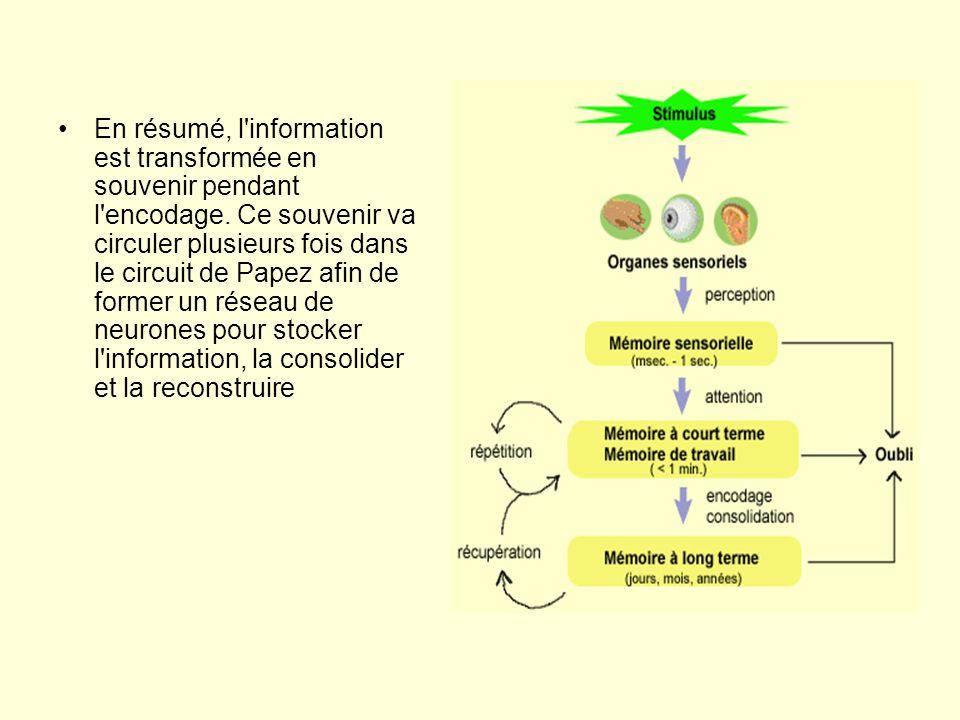 •En résumé, l'information est transformée en souvenir pendant l'encodage. Ce souvenir va circuler plusieurs fois dans le circuit de Papez afin de form