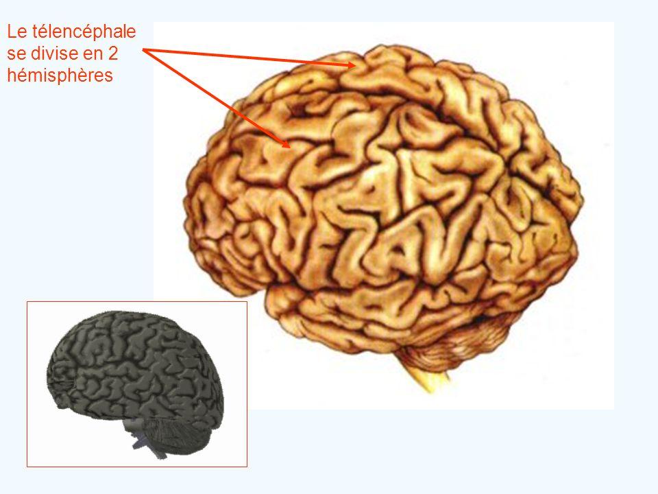 Le télencéphale se divise en 2 hémisphères