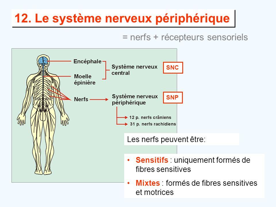 12. Le système nerveux périphérique Les nerfs peuvent être: •Sensitifs : uniquement formés de fibres sensitives •Mixtes : formés de fibres sensitives