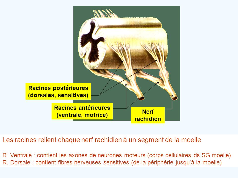 Racines postérieures (dorsales, sensitives) Racines antérieures (ventrale, motrice) Nerf rachidien Les racines relient chaque nerf rachidien à un segm