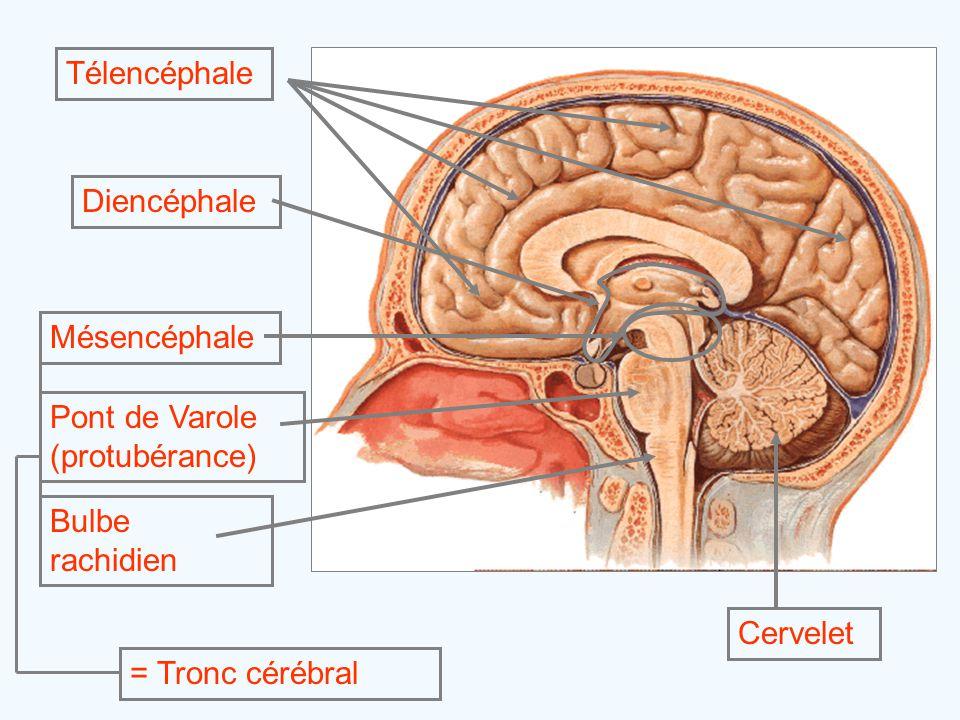 Télencéphale Mésencéphale Pont de Varole (protubérance) Bulbe rachidien = Tronc cérébral CerveletDiencéphale
