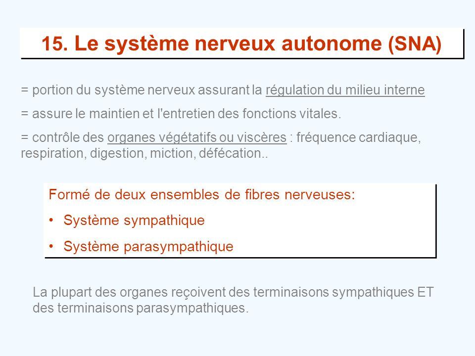 15. Le système nerveux autonome (SNA) Formé de deux ensembles de fibres nerveuses: •Système sympathique •Système parasympathique Formé de deux ensembl