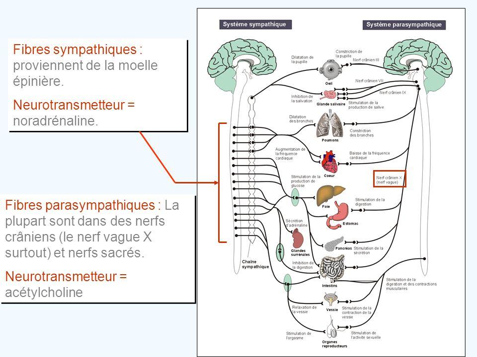 Fibres sympathiques : proviennent de la moelle épinière. Neurotransmetteur = noradrénaline. Fibres sympathiques : proviennent de la moelle épinière. N