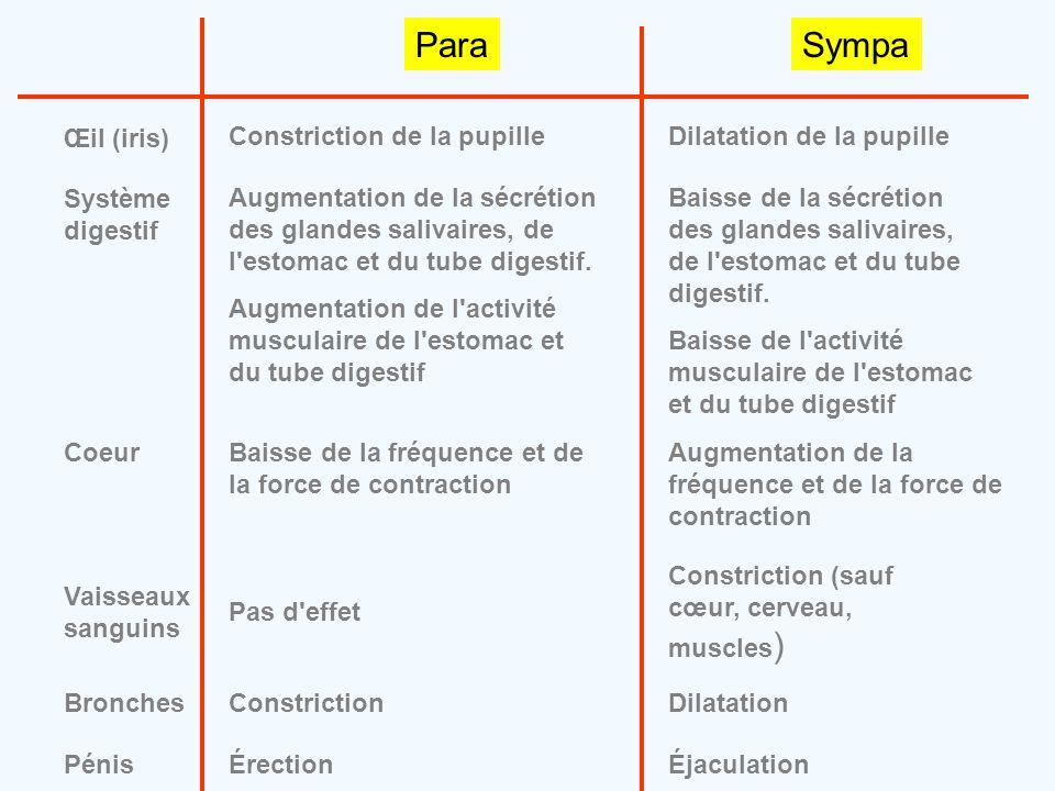 ParaSympa Œil (iris) Constriction de la pupilleDilatation de la pupille Système digestif Augmentation de la sécrétion des glandes salivaires, de l'est
