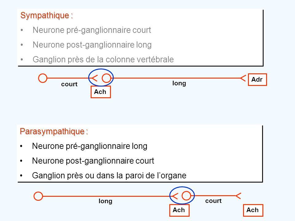 Sympathique : •Neurone pré-ganglionnaire court •Neurone post-ganglionnaire long •Ganglion près de la colonne vertébrale Sympathique : •Neurone pré-gan