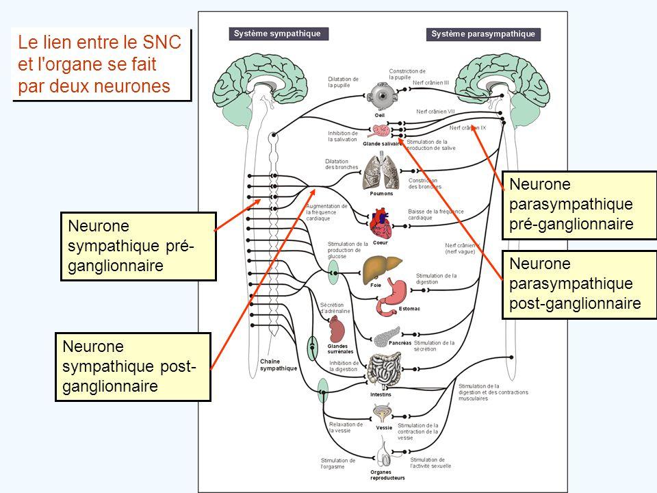 Le lien entre le SNC et l'organe se fait par deux neurones Neurone sympathique pré- ganglionnaire Neurone sympathique post- ganglionnaire Neurone para