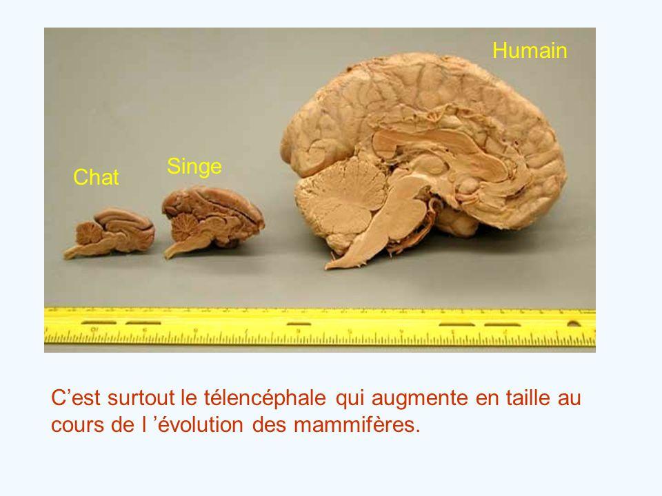 Chat Singe Humain C'est surtout le télencéphale qui augmente en taille au cours de l 'évolution des mammifères.