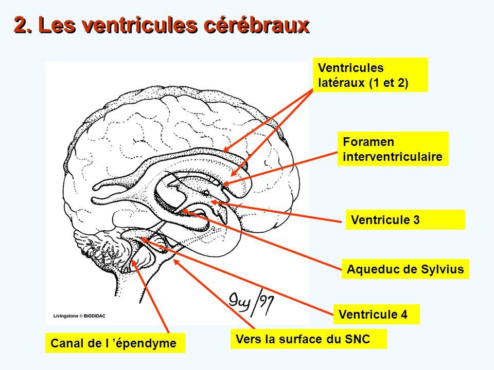 Ventricules latéraux (1 et 2) Ventricule 4 Aqueduc de Sylvius Canal de l 'épendyme Ventricule 3 Foramen interventriculaire 2. Les ventricules cérébrau