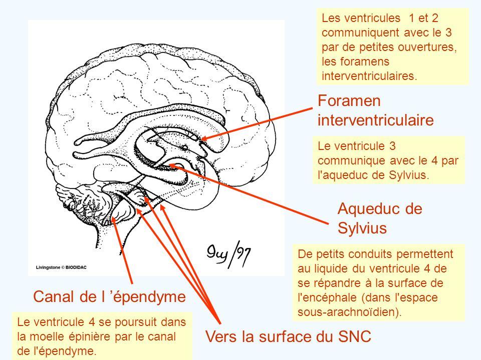 Foramen interventriculaire Les ventricules 1 et 2 communiquent avec le 3 par de petites ouvertures, les foramens interventriculaires. Aqueduc de Sylvi